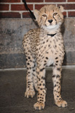 CHEETAH CUB Photo 2