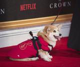 Corgi Dog Photo 1